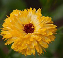 Calendula - Marigold by vbk70