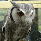 White Faced Scops Owl by ChelseaBlue