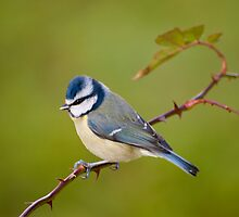 Blue tit, perched on rose branch by Margaret S Sweeny