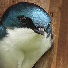 Tree Swallow by Maria Elena  Black