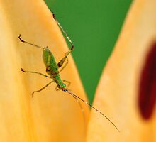 Cricket on orange lily by mltrue