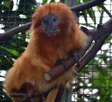 Golden Lion Tamarin by Eileen Brymer