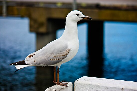 Silver Gull by Bevlea Ross