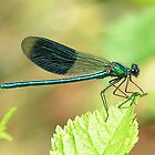 Damselfly basking in the sun by kimhaz