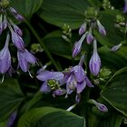 Hosta Plant with Beautiful Purple Flowers by Sherry Hallemeier