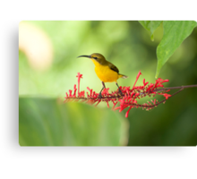 Yellow Bellied Sunbird Canvas Print
