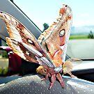 Polyphemus Moth © by jansnow