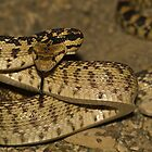 Great Basin Gophersnake by Chris Morrison