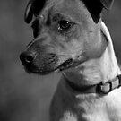 black n white dog  by David Ford Honeybeez photo
