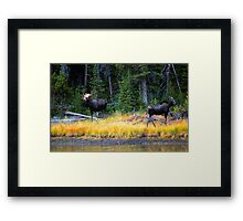 BULL AND COW MOOSE Framed Print