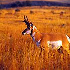 PRONGHORN ANTELOPE by Chuck Wickham