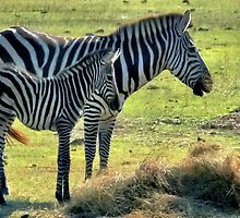 Zebra's ~ Mothers Love by Carla Jensen