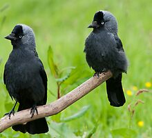 The Jackdaw Kids by M.S. Photography/Art