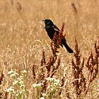 Red-winged Black Bird by Sheryl Langston