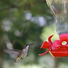 Summer Hummer by Chuck Zacharias