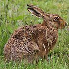 Hare today by Dave Holmes