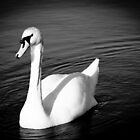  Graceful swan by chris-kemp