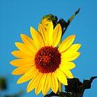 Sunflower by guppyman