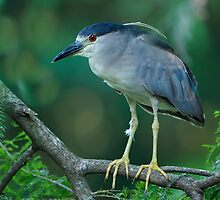 Black Crowned Night Heron Scanning For Fish by Joe Jennelle