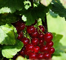 Red berries by Goca