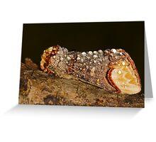 Buff-tip (Phalera bucephala) Greeting Card