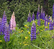 Lovely Lupines by by M LaCroix