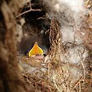 CAROLINA WREN NESTLING - OPEN WIDE by May Lattanzio