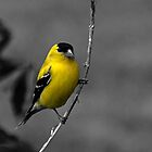 Male Gold Finch by Sheryl Gerhard