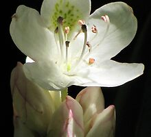 Illuminated Rhododendron by Jean Gregory  Evans