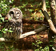 Barred Owl by Mellissa Xenakis