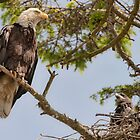 Young Bald Eagle in the Care of his Mother by David Friederich