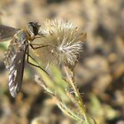 Bee Fly (family Bombyliidae) by Kimberly Chadwick