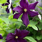 Clematis x jackmanii - The Terrace, Geraldine, New Zealand by coffeebean