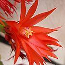 Summer cactus flower by Ana Belaj
