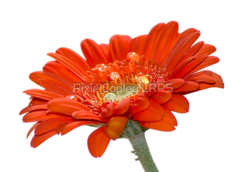 Related Pictures orange gerbera daisy flower beauty powerpoint ...