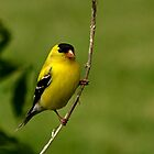 Male Gold Finch Posing by Sheryl Langston