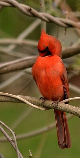 Male Cardinal Preening by Sheryl Langston