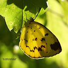 The Common grass yellow by robmac