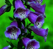 Purple Foxglove by Kathleen Struckle