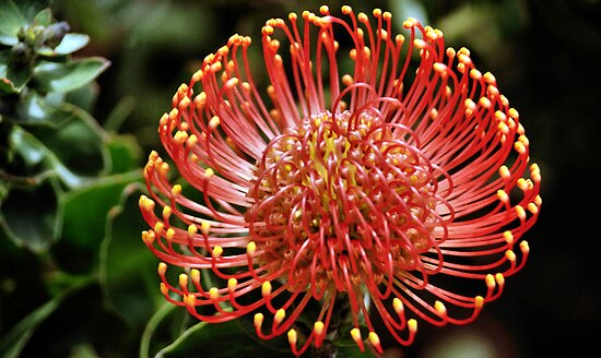 Protea portrait, Kirstenbosch Gardens, South Africa  by Carole-Anne