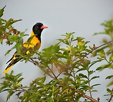 Black-hooded Oriole by Dilshara Hill