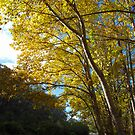 Autumn colour, Leura, the Blue Mountains of NSW by Catherine Davis