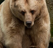 Brown Bear by Ian Creek