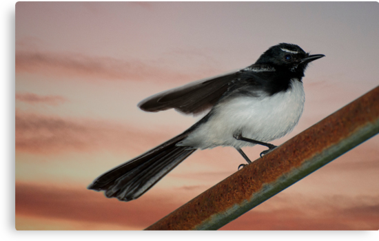 Willy Wagtail 2 by Jenny Dean