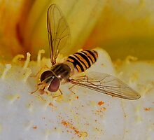 Hoverfly Close up by relayer51
