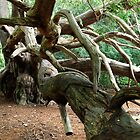Ancient Yew Tree 1 by Photogothica