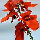 Diascia - Flirtation Orange by T.J. Martin
