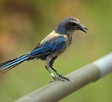 Florida Scrub Jay by kathy s gillentine