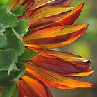 fleur de soleil by Joseph Valcourt