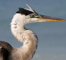Great blue heron with ugly hairdo! by jozi1